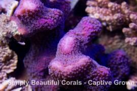 Purple Stylophora