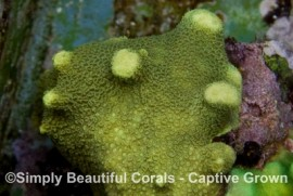 Lime Green Porites