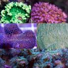 Assorted SPS Frag Pack 5 Corals