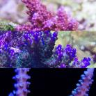 High End SPS Frag Pack 3 Corals