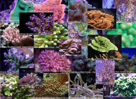 Super-Sized-Massive 40 Coral Mixed Frag Pack with FREE Shipping