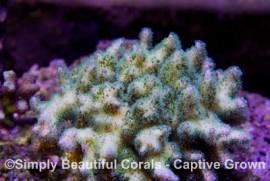 Tri-color Pocillopora