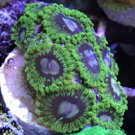 Electric Boogaloo Zoa