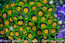 Yellow Brick Road Zoas
