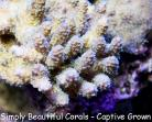 Electric Blue Millepora