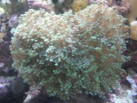 SBC Branching Grape Coral