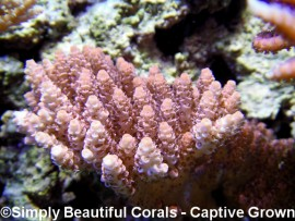 Atlantis Red Brick Millepora