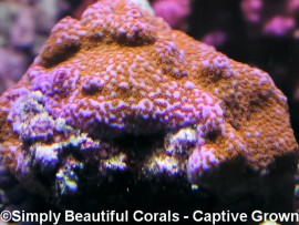 Tyree Superman Montipora