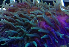 Green and Purple Fungia Plate Coral