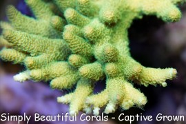 Shaggy Green Millepora
