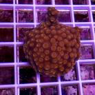 Tyree Blood Red Eyes Cyphastrea