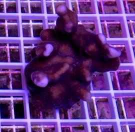 Blue Ridge Coral - Colony