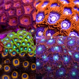 Assorted Zoa/Paly Frag Pack