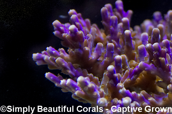 SPS Corals